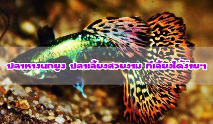 ปลาหางนกยูง ปลาเลี้ยงสวยงาม ที่เลี้ยงได้ง่ายๆ